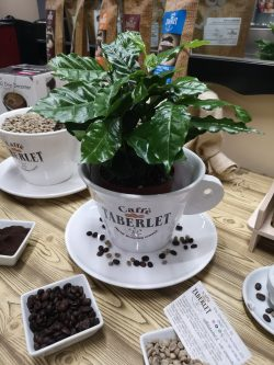 Piantina Caffè Arabica, (senza vaso in Ceramica) Con Confezione Caffè Arabica 200gr Moka