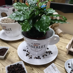 Piantina del Caffè con confezione Caffè 100% Arabica Antiogu da 200gr Moka ( Senza Vaso Ceramica )